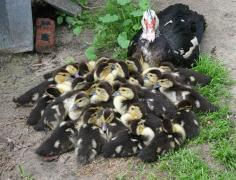 Feed for ducklings (Starting PC 21-2) from 0 to 20 days.TM ""